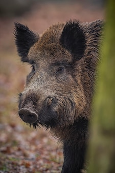 Dzik w naturze siedlisko niebezpieczne zwierzę w lesie czechy natura sus scrofa