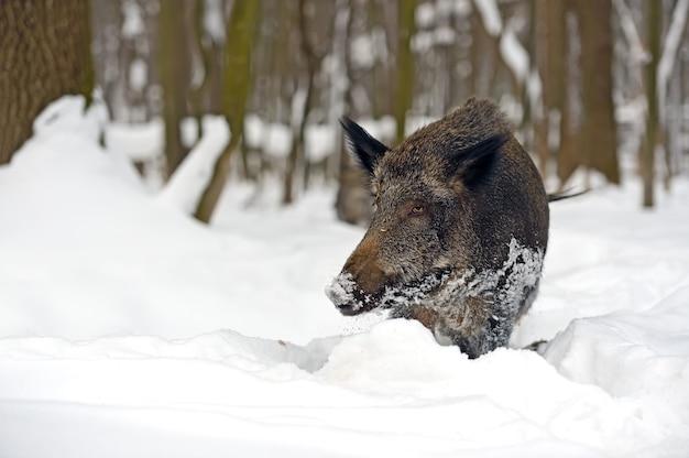 Dzik w zimowym lesie