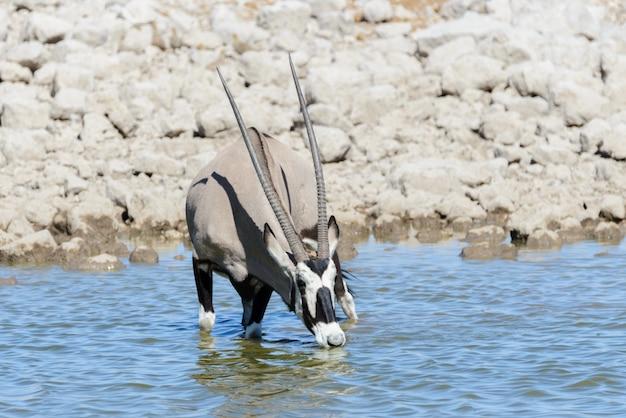 Dzika antylopa oryks w afrykańskiej sawannie