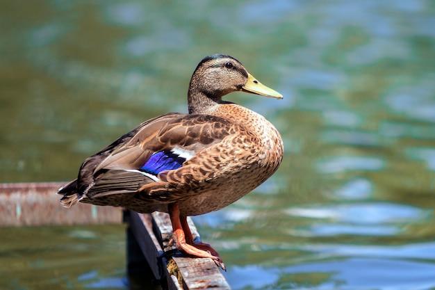 Dzika brown kaczka siedzi odpoczywać na starej rujnującej most ramie na wodzie.