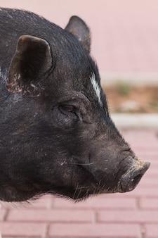 Dzika czarna świnia chodzenie po ulicy