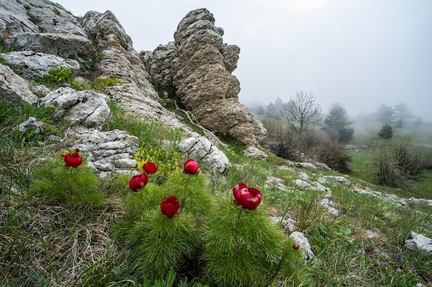 Dzika czerwona piwonia na zielonym tle z bliska. wiosenne kwiaty czerwienieją w słońcu. na górze kwitną piękne piwonie. nieostrość.