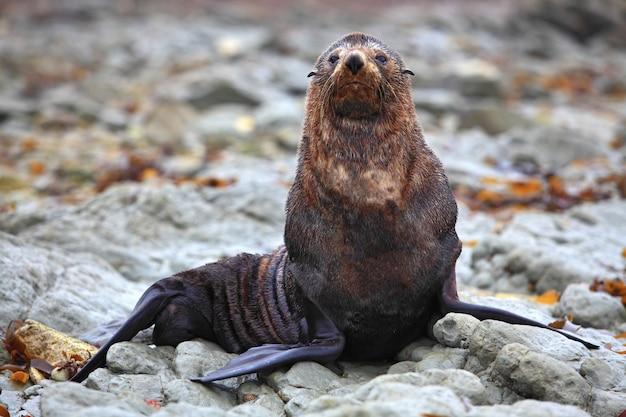 Dzika foka przy foki kolonią w kaikoura nowa zelandia
