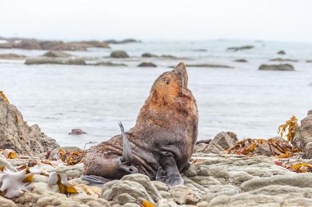 Dzika foka w kolonii fok kaikoura, nowa zelandia