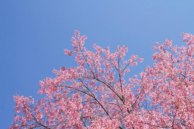 Dzika himalajska wiśnia kwitnie drzewa lub sakura przez niebieskie niebo