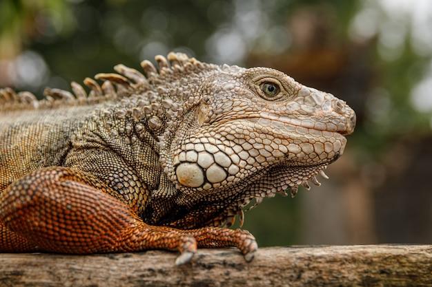 Dzika i piękna iguana siedząca na kawałku drewna