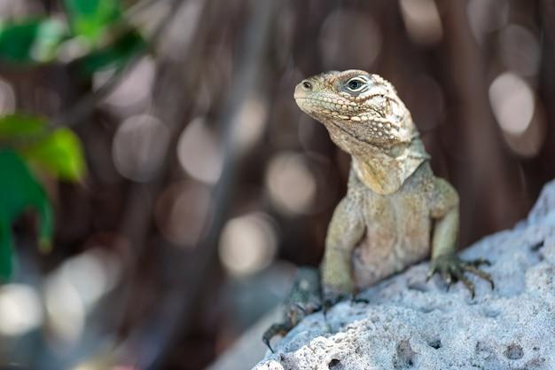 Dzika iguana, kuba