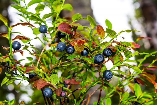 Dzika jagoda z dojrzałymi jagodami i liśćmi
