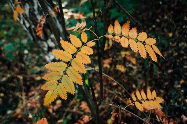 Dzika jarzębina gałąź blisko brzozy w jesień lesie na bogatej florze. spadek liści pomarańczy z bliska.