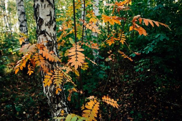 Dzika jarzębina rozgałęzia się blisko brzozy w jesień lesie