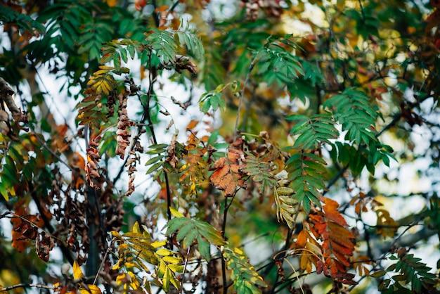 Dzika jarzębina rozgałęzia się w jesień lesie na nieba bokeh tle.