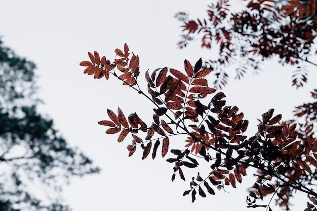 Dzika jarzębina rozgałęzia się w jesień lesie na nieba tle z bokeh roślinność.