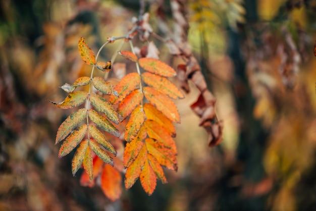 Dzika jarzębiny gałąź w jesień lesie na bokeh naturze w zmierzchu. pomarańczowy spadku liść w wschodu słońca zakończeniu. jesień las z kolorową bogatą florą w świetle słonecznym. żółta jarzębina pozostawia podświetlenie.