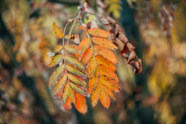 Dzika jarzębiny gałąź w jesień lesie na bokeh w zmierzchu. pomarańczowy spadku liść w wschodu słońca zakończeniu.