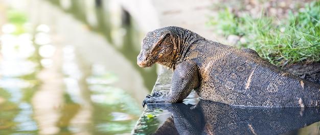 Dzika jaszczurka monitorująca wodę