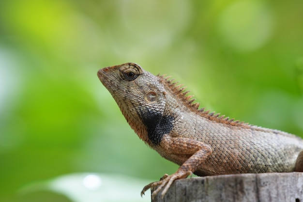 Dzika jaszczurka na drzewnym fiszorku i zielonym liścia tle
