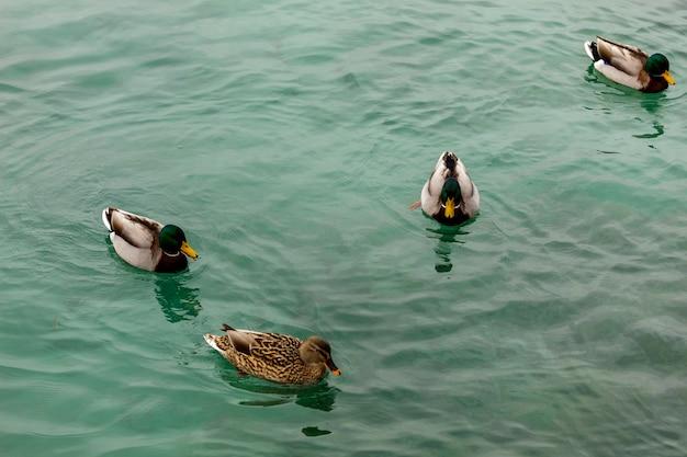 Dzika kaczka jeziora garda w zimie. niskie temperatury powodują, że są powolne i cichsze.