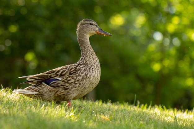 Dzika kaczka, kobieta chodzi po zielonej trawie