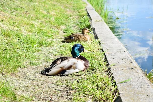 Dzika kaczka krzyżówka siedzi na trawie nad jeziorem, samiec dzikiej kaczki poza wodą w słoneczny dzień.