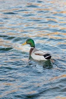 Dzika kaczka unosząca się na wodzie