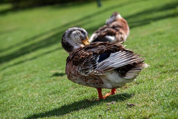 Dzika kaczka w naturalnym środowisku w ciągu dnia