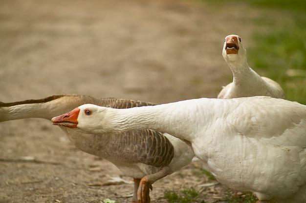 Dzika kaczka w pozycji bojowej i obronnej w ich naturalnym środowisku