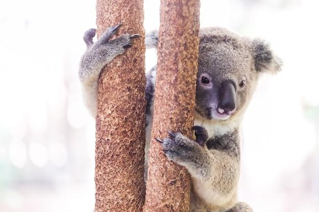 Dzika koala wspina się drzewa
