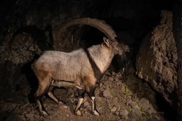 Dzika koza bezoarowa w naturalnym środowisku bezoar ibex capra aegagrus