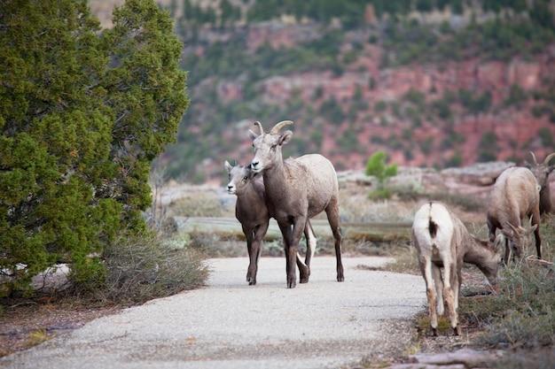 Dzika koza górska w górach kaskadowych