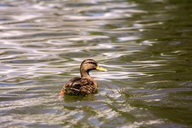 Dzika ładna brązowa ptasia samica kaczki unosząca się w jasnym oświetlonym słońcem jasnym iskrzącym stawie lub wodzie jeziora.
