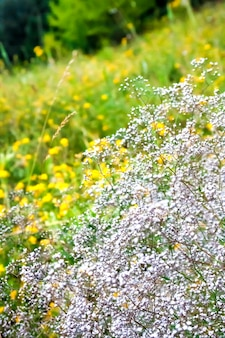 Dzika łyszczec kwitnie na lato łąki tle