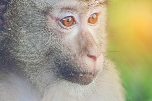Dzika małpa, zbliżenie