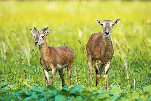 Dzika muflon owca i młody baran z małym rogiem rosnącym na zielonym polu