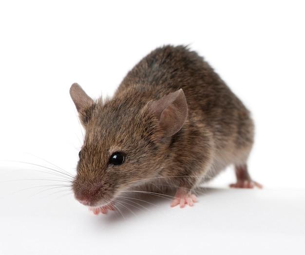 Dzika mysz na białym tle
