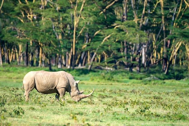 Dzika nosorożec biała lub ceratotherium simum w sawannie