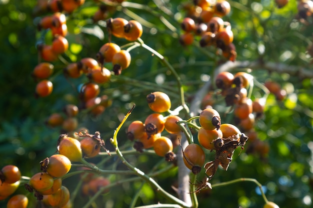 Dzika pomarańcza dzikiej róży letni krzew dzikiej róży