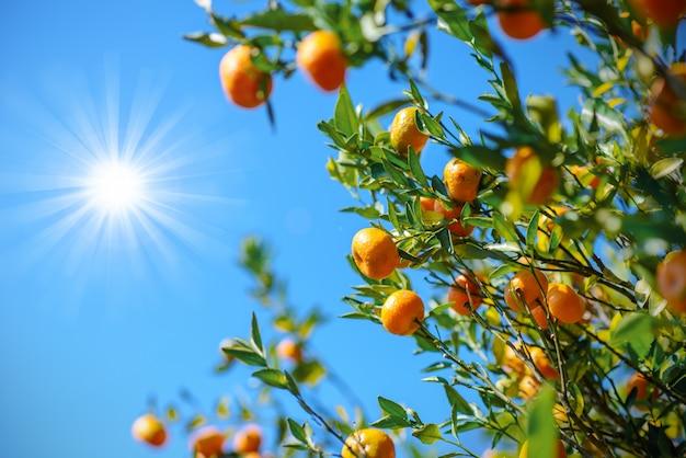 Dzika pomarańcza pod błękitnym niebem i słońcem