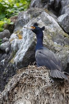 Dzika przyroda kamczatki: kormoran czerwonolicy (phalacrocorax urile) siedzący w gnieździe na klifie. rosja, daleki wschód, kamczatka.