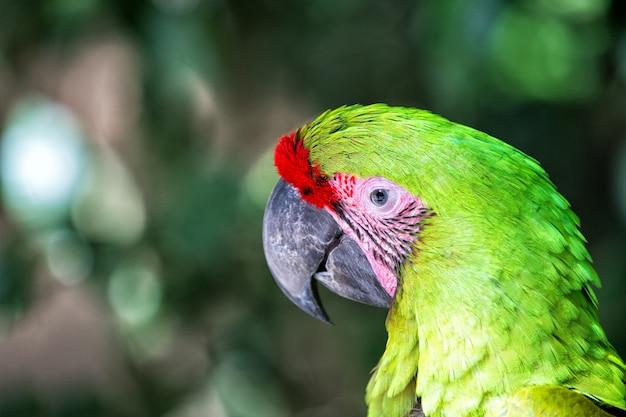 Dzika przyroda wibrująca papuga w roatan honduras koncepcja bioróżnorodności zielona papuga tropikalny ptak