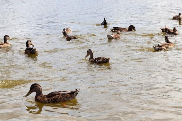 Dzika przyroda z lataniem i ptactwem wodnym, dzikie kaczki wiosną lub latem w naturze, piękne dzikie kaczki w naturze