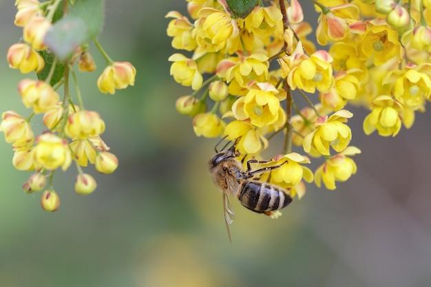 Dzika pszczoła zapyla kwiaty berberysu w ogrodzie ogrodnictwo