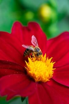 Dzika pszczoła zbiera latem nektar z jasnoczerwonego dużego kwiatu.