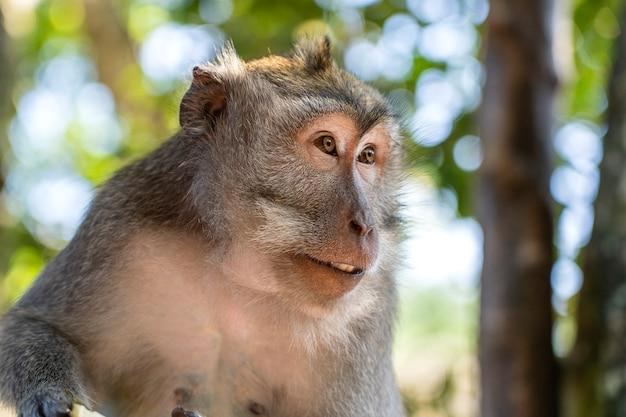 Dzika rodzina małp w świętym lesie małp w ubud, wyspa bali, indonezja. punkt orientacyjny w parku monkey forest i miejsce turystyczne w azji, gdzie małpy żyją w środowisku dzikiej przyrody