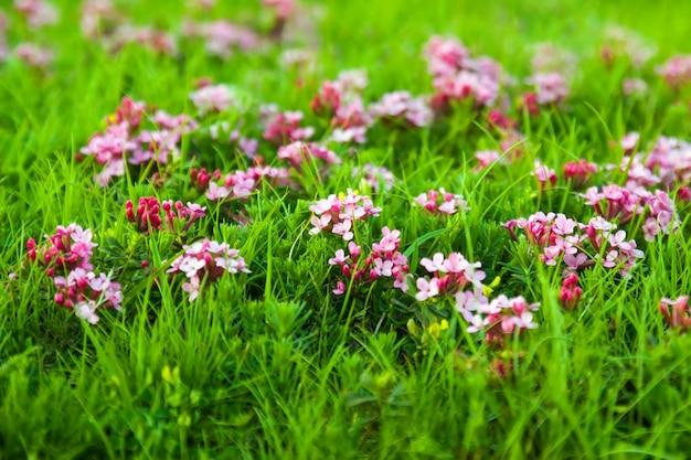 Dzika roślina menchia kwiat w pyrenees