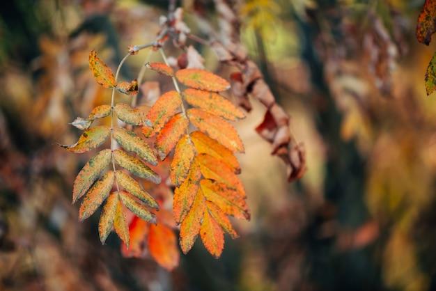 Dzika rowan gałąź w jesień lesie na bokeh tle w zmierzchu.