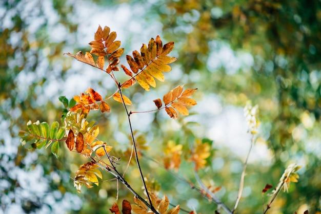 Dzika rowan gałąź w jesień lesie na nieba bokeh naturze. pomarańczowy spadek liść w światła słonecznego zakończeniu. jesień las z kolorową bogatą florą w słonecznym świetle. żółta jarzębina pozostawia podświetlenie.