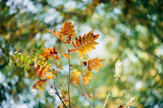 Dzika rowan gałąź w jesień lesie na nieba bokeh tle.