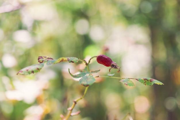 Dzika róża owoc na gałąź zakończeniu up. leczenie ziołami. dziki wrzosiec krzak z biodrami z kopii przestrzenią.