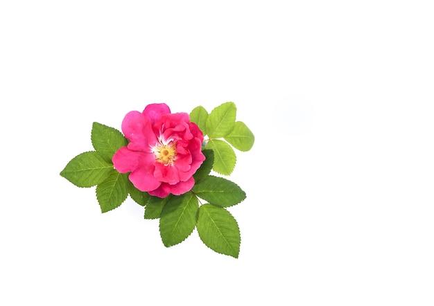 Dzika róża z zielonymi liśćmi.