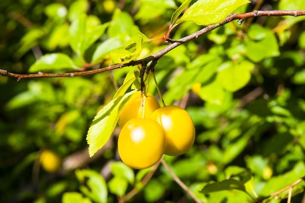 Dzika śliwka wiśniowa zwisająca z gałęzi żółta dojrzała śliwka w ogrodzie